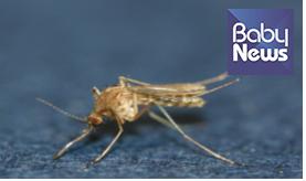 일본뇌염 매개 모기인 작은빨간집모기. ⓒ질병관리본부